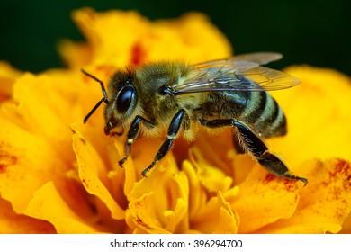 Macro shot of bee collecting pollen