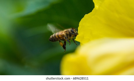 A macro shot of a bee collecting pollen from a yellow evening primrose bloom.