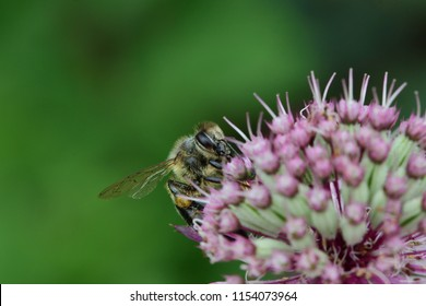 Macro shot of a bee on a pink astrantia flower