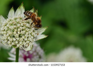 Macro shot of a bee pollinating an astrantia flower
