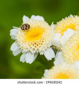 A macro shot of a beetle sitting on a feverfew bloom.
