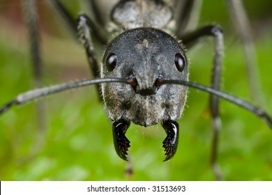 Macro shot of a black ant face on