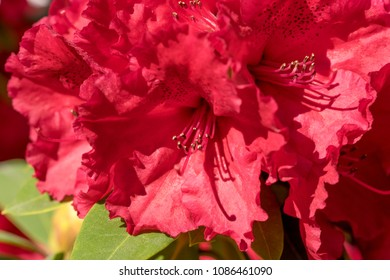 Macro shot of the blooming red rhododendron