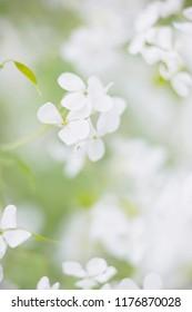 Macro shot of blooming white wild flowers.