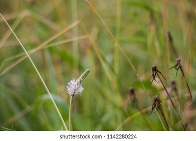 Macro shot of the blossom of a ribwort in a meadow