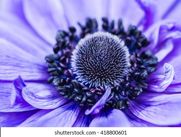 A macro shot of a blue anemone bloom.