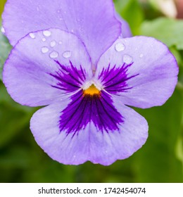 A macro shot of a blue pansy with some raindrops on the petals.