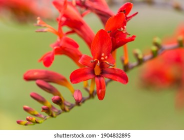 A macro shot of the bright red bloom of a crocosmia lucifer plant.