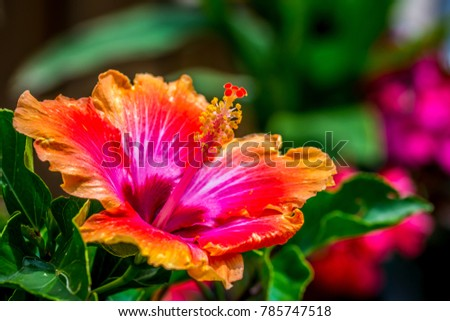 Macro Shot Brilliant Hibiscus Flower Blooming Stock Photo Edit Now