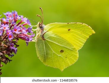 A macro shot of a brimstone butterfly feeding from a butterfly bush bloom.
