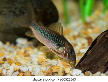 A macro shot of a bronze corydoras catfish.