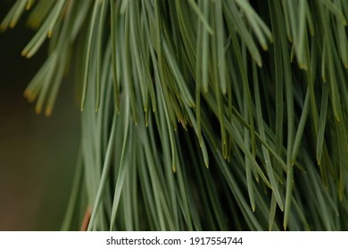 macro shot of a bundle pineneedles