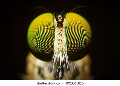 Macro shot. The Calliphoridae (commonly known as blow fly, carrion fly, bluebottle, greenbottle, or cluster fly) are a family of insects in the order Diptera.Showing of eyes detail.Insect life concept