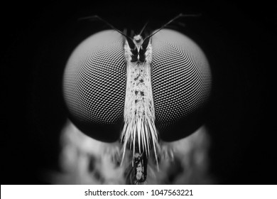 Macro shot. The Calliphoridae (commonly known as blow fly, carrion fly, bluebottle, greenbottle, or cluster fly) are a family of insects Diptera in Black and white. Showing of eyes detail insect life.