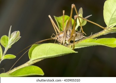 Macro shot of a camel cricket on a plant. In the last years this insect has become an invasive animal widespread in homes in United States