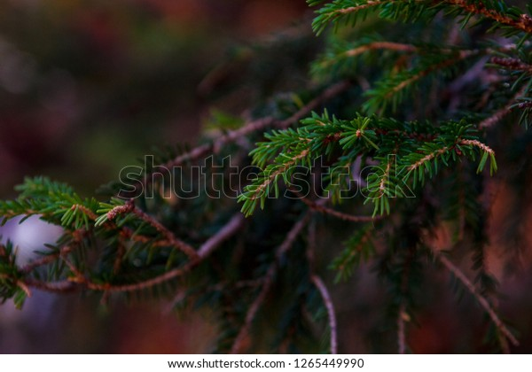 macro shot Christmas tree branch in the forest