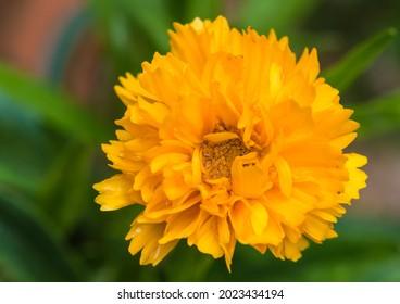A macro shot of a coreopsis golden joy bloom.