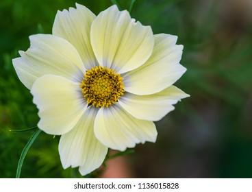 A macro shot of a cosmos xanthos bloom.