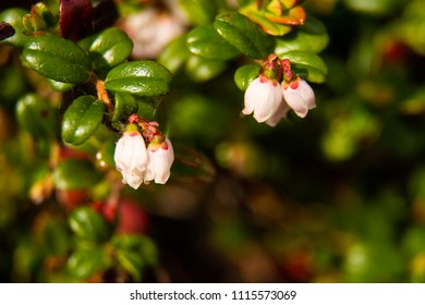 Macro shot of cranberry flowers in bloom.