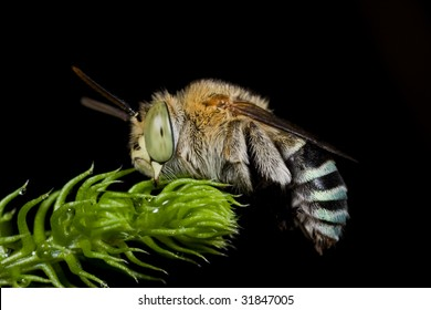 Macro shot of a cuckoo bee sleeping by locking its mandibles onto a plant
