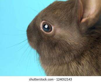 Macro shot of a cute black rabbits head.