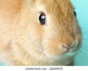 Macro shot of a cute golden rabbit.