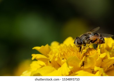 a macro shot of a  cute small honeybee collecting pollen on a yellow flower