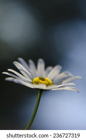Macro shot of a daisy with short dept of field and blue background.