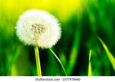 Macro shot of dandelion over bright green grass. Freshness, nature and life concept