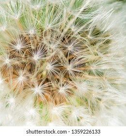 A macro shot of a dandelion seed head.