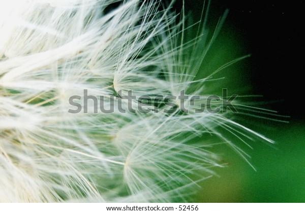 Macro shot of danylion seeds