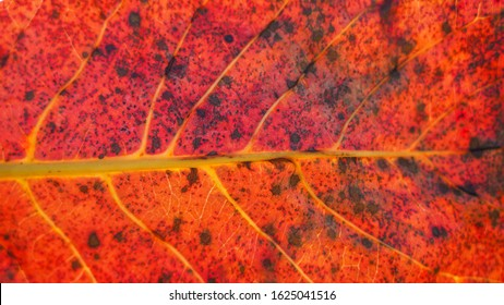 macro shot of a dry autumn leaf. dry tree leaf structure. natural texture sun rays on a fallen dry leaf. cell structure.