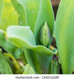 A macro shot of an early springtime tulip flower bud.
