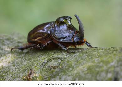 Macro shot of European rhinoceros beetle