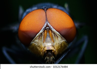 macro shot of a eyes of fly