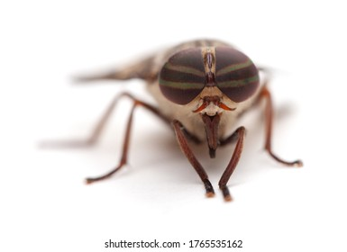 Macro shot of the eyes of a horse fly (Hybomitra lasiophthalma) isolated on a white background