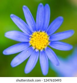 A macro shot of a felicia bloom.