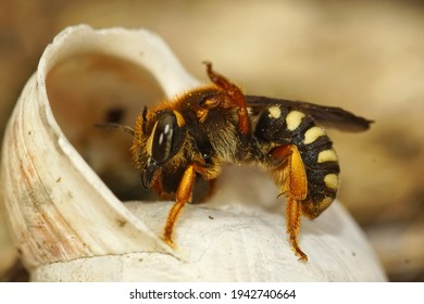 A macro shot of a female carder bee inspecting a snail shell to lay her eggs