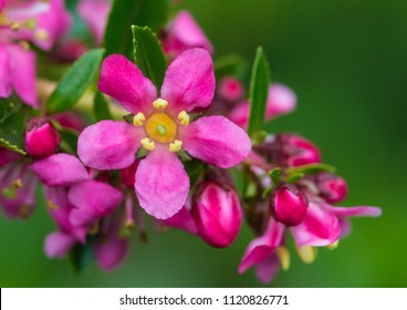 A macro shot of the flower of an escallonia bush.