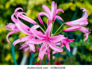 A macro shot of the flower head of a nerine bowdenii plant.