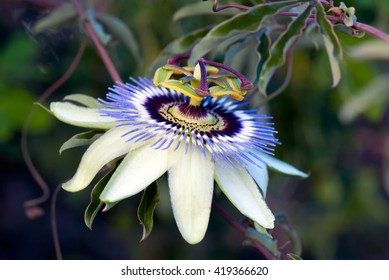 A macro shot of the flower of the passionfruit tree
