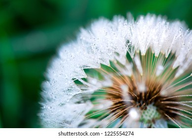 Macro shot of fluffy and fragile dandelion flower with rain drops in early morning. Concept of changing seasons and nature awakening. Wind blowing away the seeds.