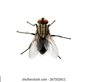 A macro shot of fly on a white background . Live house fly .Insect close-up - Shutterstock ID 267332411