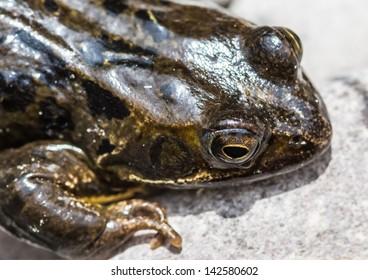 A macro shot of a frog.