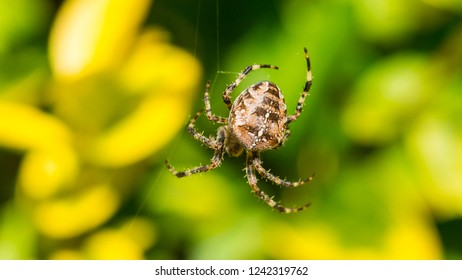 A macro shot of a garden spider in its web.
