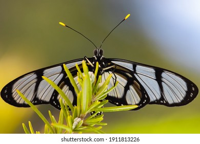 Macro shot of Giant Glasswing butterfly on flowers
