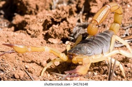 Macro shot of Giant Hairy scorpion, northern Arizona desert.Hadrurus arizonensis.
