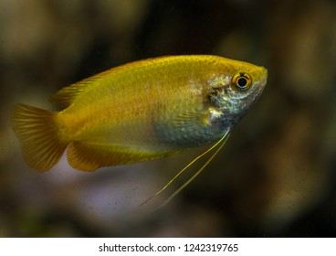 A macro shot of a gold honey gourami tropical fish.