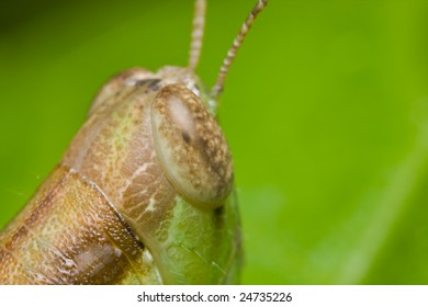Macro shot of a grasshopper, portrait
