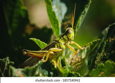 Macro shot of grasshopper sitting on the green leaves. Insect in wild nature.